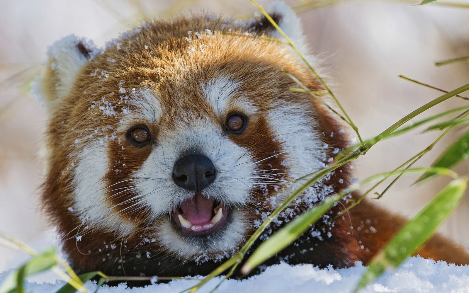 Red Panda saying hello.jpg